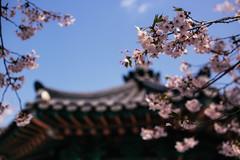 Seoul Cherry Blossoms (stuckinseoul) Tags: world
