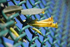 Trapped (Jean-Franois Chnier) Tags: california ca flowers winter light yellow fence la losangeles day bokeh sunny