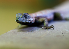 "Eastern Fence Lizard Head • <a style=""font-size:0.8em;"" href=""http://www.flickr.com/photos/30765416@N06/11393271823/"" target=""_blank"">View on Flickr</a>"