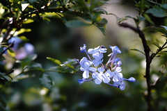 (ddsnet) Tags: plant flower sony taiwan 99   taoyuan  slt     singlelenstranslucent 851 99v