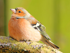 heavens above (explored) (Dawn Porter) Tags: bird somerset chaffinch