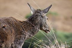 Through The Grass (DMeadows) Tags: red wild portrait wet grass rain animal rural landscape mammal scotland countryside wildlife country hill glen deer highland glencoe hillside etive davidmeadows dmeadows davidameadows dameadows