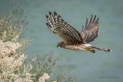 Northern Harrier (Happy Photographer) Tags: nevada flight raptor harrier northernharrier happyphotographer hendersonbirdpreserve amyhudechek