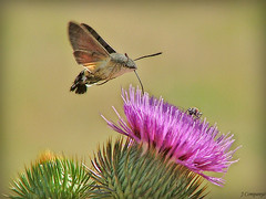 Esfinge colibri (Macroglosun estellatarum) (Pep Companyó - Barraló) Tags: animals fauna esfinge natura 2006 borboleta mariposa insectes colibri papallona estellatarum macroglosun