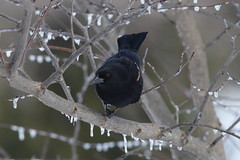 Red-Winged Blackbird (male) (Zone~V) Tags: winter snow tree ice march kentucky redbud phoenicus aeglaius