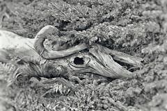 Dead Dragon / Toter Drache (kingfisher_68) Tags: bw usa tree monster sony maine sw amerika baum acadia barharbor acadianationalpark a700 schwarzweis