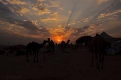 Sunset & camels (me suprakash) Tags: sunset india camel pushkar rajasthan pushkarcamelfair nikond90 pushkarcattlefair sunsetcamels sunsetoverpushkarmela