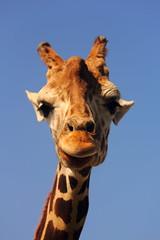 Giraffe (Kellie M. Simpson) Tags: zoo gulf giraffe breeze canon60d zoosofnorthamerica