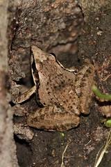 Ptychadena oxyrhynchus (mgrimm82) Tags: tanzania amphibian frog toad matema animalia lakemalawi eastafrica amphib anura amphibia mbeya tukuyu chordata lakenyasa kyela lakenyassa taxonomy:class=amphibia taxonomy:order=anura taxonomy:kingdom=animalia taxonomy:phylum=chordata ptychadena taxonomy:genus=ptychadena ptychadenidae ptychadenaoxyrhynchus lakenjassa taxonomy:family=ptychadenidae inaturalist:observation=584066