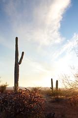Signal Hill Cholla (Kumasan) Tags: statepark flowers blue sunset arizona sky plants mountain southwest history america landscape ancient flora desert tucson native saguaro petroglyph signalhill hohokam rockdrawing