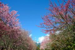 2014 -Wuling Farm Taiwan (J.D Chen ) Tags: travel snow festival cherry nikon blossom farm blossoms taiwan taichung  f28 d800 cherryblossomfestival wuling wulingfarm 2015 1424
