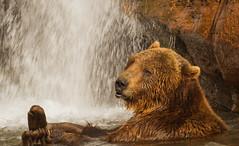 Bear in waterfall (hehirt) Tags: animals wildlife moab