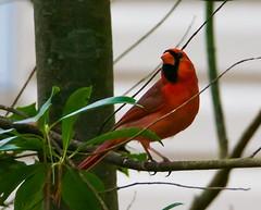 (Chomp_on_this76) Tags: nature birds cardinal birding birdnerd sonysel55210 sonynex6