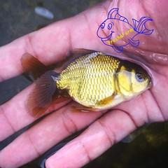ลูกปลาทองรุ่นใหม่ของพวกเราครับ  ------------------------------------------------- ติดตามพวกเราได้ที่… http://banpongfishfarm.com/ http://instagram.com/banpongfishfarm Mobile: 0819488537 , 0907939495 ♡♡ ปลาทองสำหรับคนรักปลาสวย ♡♡ #Fish #Pets #GoldFish #Ban