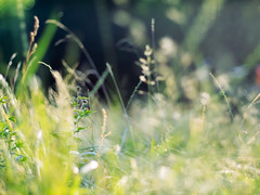 Wiese (~janne) Tags: 50mm licht weide bokeh f14 meadow wiese pasture environment kamera omd wetzlar umwelt em1 leitz kringel manuell summiluxr