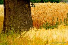 Eiche trifft Kornfeld (grafenhans) Tags: landscape minolta sommer sony feld af alpha 700 landschaft baum rinde farben acker kornfeld baumstamm getreide a700 alpha700 grafenwald 455675300