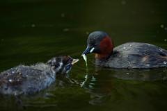Little Grebe feeding baby little grebe (macmirabile) Tags: uk baby fish bird sigma feed regentspark grebe lonon littlegrebe nikond600 sigma150600s