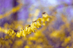 A party of yellow blossoms (Paulina_77) Tags: park flowers blue plant blur color nature colors vintage garden 50mm spring crazy intense blurry nikon focus scenery colorful mood branch moody colours dof purple natural bright blossom bokeh outdoor vibrant background wildlife details blossoms dream mother vivid atmosphere blurred scene illuminated depthoffield mc hues madness m42 forsythia bloom colored dreamy variegated shallow colourful pentacon f18 dreamlike tones hue daydream depth atmospheric selective 50mm18 focusing 5018 d90 illimination pentacon50mmf18 bokehlicious pentacon50mm nikond90 multicoated pentacon50mm18 pola77