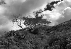 HiilsideTree I_bw (Joe Josephs: 3,122,834 views - thank you) Tags: california joejosephs travel travelphotography californiacentralcoast clouds daylight fineartphotography landscape landscapephotography outdoorphotography outdoors sky trees westcoast â©joejosephs2017 blackandwhitephotography blackandwhite rural ©joejosephs2017