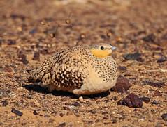 Tropfenflughuhn (vil.sandi) Tags: tropfenflughuhn pteroclessenegallus spottedsandgrouse desert ergchebbi marocco pterocliformes