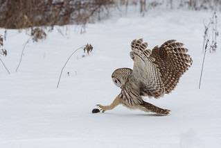 Barred Owl with prey
