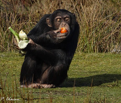 Chimpanzee (pclaesen) Tags: chimpanzee chimpansee monkey primate primaat ape aap lunchtime zoo dierentuin safariparkbeeksebergen beeksebergen sonyhx300 sonypictures animal animals animalphotography hilvarenbeek nederland netherlands holland brabant pantroglodytes