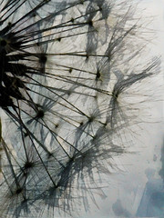 The Dandelion Silhouette (Steve Taylor (Photography)) Tags: art abstract digital impressionist blue black white uk gb england greatbritain unitedkingdom plant seed weeds dandelion silhouette texture lines ramsgate