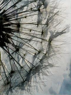 The Dandelion Silhouette