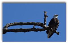 out on a limb (David Sebben) Tags: bald eagle bird nature raptor mississippi river davenport iowa