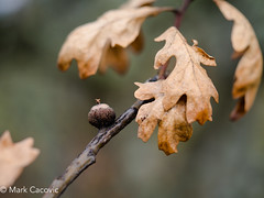 Hold on for one more day (Mark Cacovic) Tags: acorn oak garry tree nature leave bokeh macro victoria bc 2017