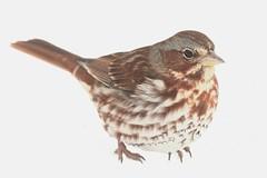 Fox Sparrow (Passerella iliaca) (Steve Byland) Tags: fox sparrow passerella iliaca bird nature canon 7d markii