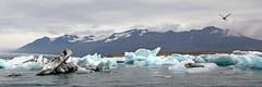 Lagon Jökulsárlón  5 (Xtian du Gard) Tags: jökulsárlón iceberg iceland glacier seal phoque panorama sterne xtiandugard