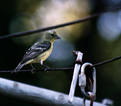 Objects on a clothesline (TJ Gehling) Tags: bird goldfinch finch walnutcreekca carduelis