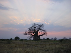 African Sunset with large Baobab tree, Tarangire NP, 2001, Tanzania (Hart Walter) Tags: tourism coffee cattle rice tea goats sunflower sisal camels sugarcane deforestation desertification tef africanlanduse baobabdestruction