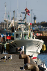 Seagulls and Fishing Boats (keithlommel) Tags: seagulls birds animals hokkaido haboro teuriisland