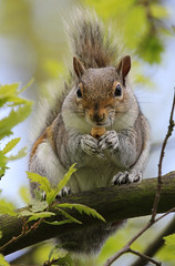 Grey squirrel (Leo smith - rocket2cool) Tags: nature canon leo wildlife smith os l worcestershire 100400mm hsm 60d rocket2cool