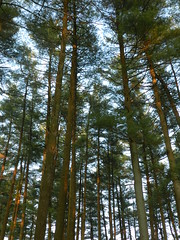 In the Pines (Christine_Ray) Tags: new pine forest state reserve national jersey pinelands barrens belleplain belleplaincapemayandparvin