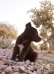 Panda Bear Looking Left (Immature Animals) Tags: blackandwhite rescue baby white black animal animals female mutt marshall derek bark chow immature chowchow koalition derekmarshall barktucson immatureanimalscom
