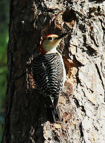 Red-bellied Woodpecker_01