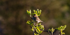 meadow pipet (ritchiecam) Tags: bird nature canon scotland wildlife 7d 400mm