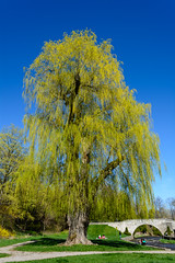 Great Willo (photo_flav) Tags: tree hamilton willow willowtree websterfalls spencergorge wildeness