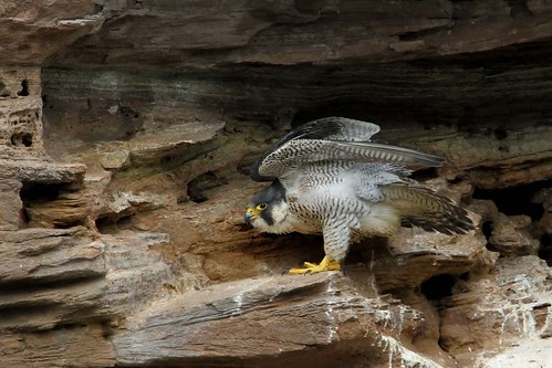 Peregrine female  my favourite posing 3.6.2013