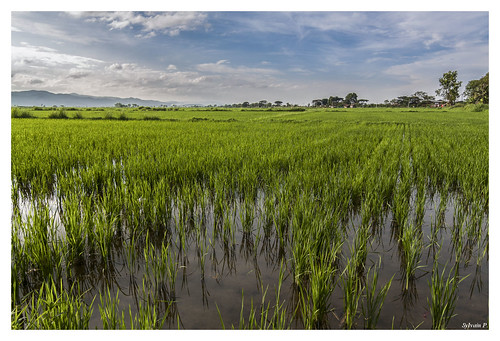 Rice plantation near Lake Inle