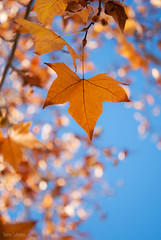 autumn leaves (stacey catherine) Tags: blue autumn fall leaves yellow bokeh westerncape mcgregor