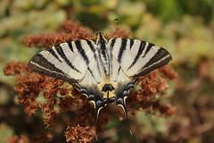 Mi scaldo un po......... (Anfora di Cristallo) Tags: insetti farfalle podalirio macromarvels macromagister faunacalabrese