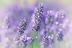 English lavender (Jak5Bale) Tags: macro closeup bokeh lavender lilac softfocus delicate pastelcolours rhshydehall