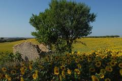 Tournesols en Haute-Provence (Michel Seguret Thanks for 13.6 M views !!!) Tags: summer france field nikon estate plateau sommer feld sunflowers sunflower campo d200 provence été girasole tournesol girasol champ tournesols sonnenblume alpesdehauteprovence valensole michelseguret