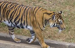 Smithsonian National Zoo Tues 23 July 2013  (526)Sumatran Tiger (smata2) Tags: nature animals zoo washingtondc dc wildlife tiger nationalzoo animales tigre animalplanet nationscapital smithsoniannationalzoo itsazoooutthere zoosofnorthamerica