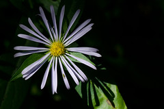 Aster Shadows (LabradorEars) Tags: macro wildflower aster tamron90mm symphyotrichum asterfoliaceus symphyotrichumfoliaceum