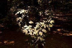 Sunlight & Shade (tommaync) Tags: light sunlight tree nature leaves sunshine nc nikon branch august explore shade pittsboro d40 explored 2013 exploredaug312013380